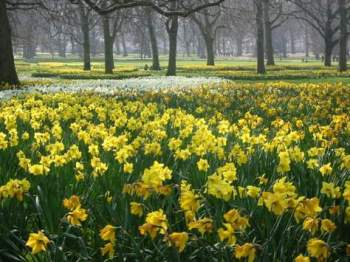 field-of-daffodils.jpg (350×262)